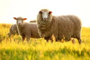 Wool has been used for centuries to sleep in, on or under, and is scientifically proven to be good for sleep.