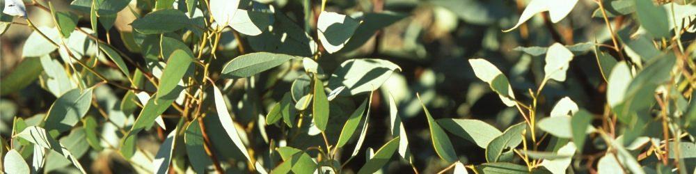 Eucalyptus essential oil for snoring