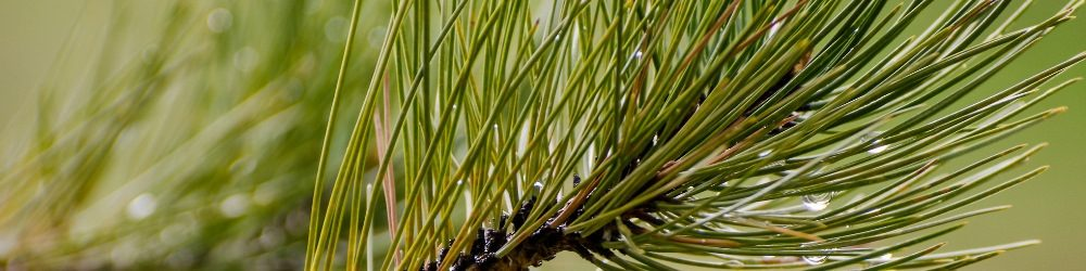 Pine essential oil for snoring